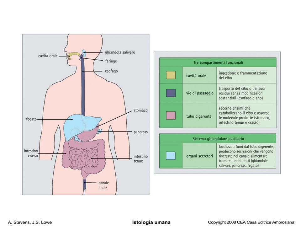 E= esofago T= trachea Tg=Tiroide Pg=paratiroide