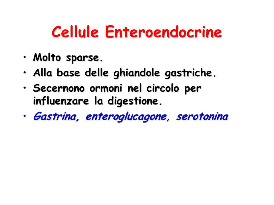 Cellule Enteroendocrine Molto sparse.Molto sparse. Alla base delle ghiandole gastriche.Alla base delle ghiandole gastriche. Secernono ormoni nel circo