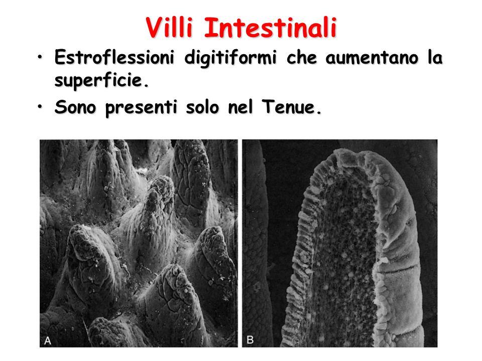 Villi Intestinali Estroflessioni digitiformi che aumentano la superficie.Estroflessioni digitiformi che aumentano la superficie. Sono presenti solo ne