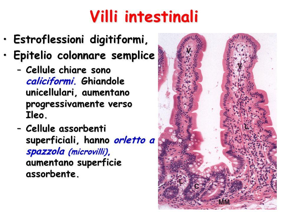 Villi intestinali Estroflessioni digitiformi,Estroflessioni digitiformi, Epitelio colonnare sempliceEpitelio colonnare semplice –Cellule chiare sono c