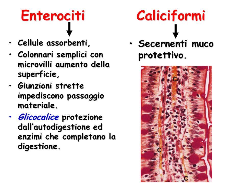 Enterociti Caliciformi Cellule assorbenti,Cellule assorbenti, Colonnari semplici con microvilli aumento della superficie,Colonnari semplici con microv