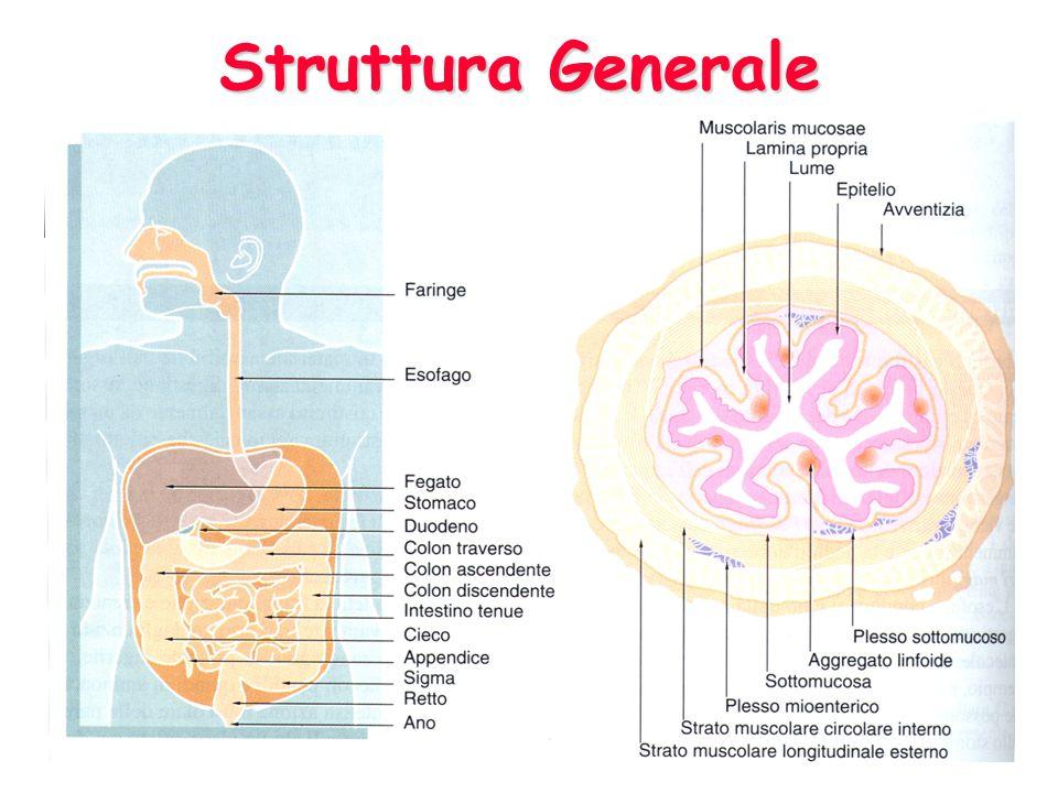 MucosaMucosa SottomucosaSottomucosa Muscolare EsternaMuscolare Esterna Sierosa/AvventiziaSierosa/Avventizia