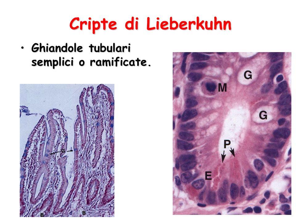 Cripte di Lieberkuhn Ghiandole tubulari semplici o ramificate.Ghiandole tubulari semplici o ramificate.