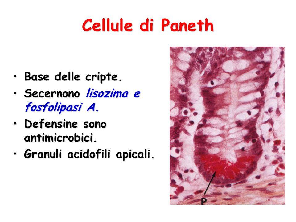 Cellule di Paneth Base delle cripte.Base delle cripte. Secernono lisozima e fosfolipasi A.Secernono lisozima e fosfolipasi A. Defensine sono antimicro