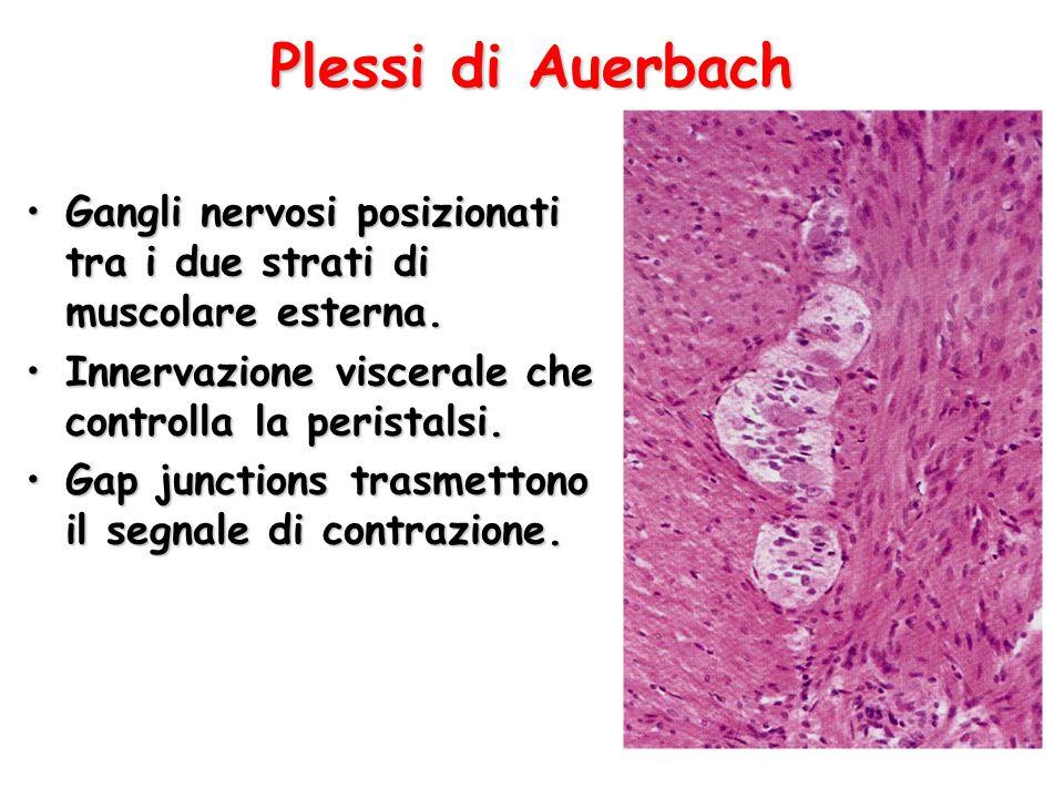 Plessi di Auerbach Gangli nervosi posizionati tra i due strati di muscolare esterna.Gangli nervosi posizionati tra i due strati di muscolare esterna.