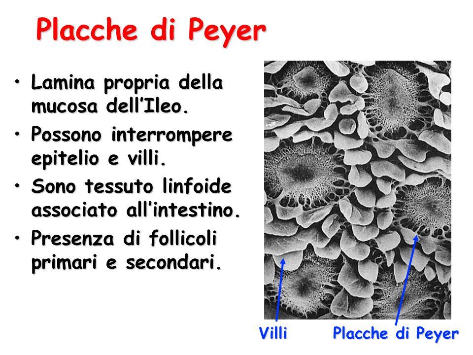 Placche di Peyer Lamina propria della mucosa dell'Ileo.Lamina propria della mucosa dell'Ileo. Possono interrompere epitelio e villi.Possono interrompe