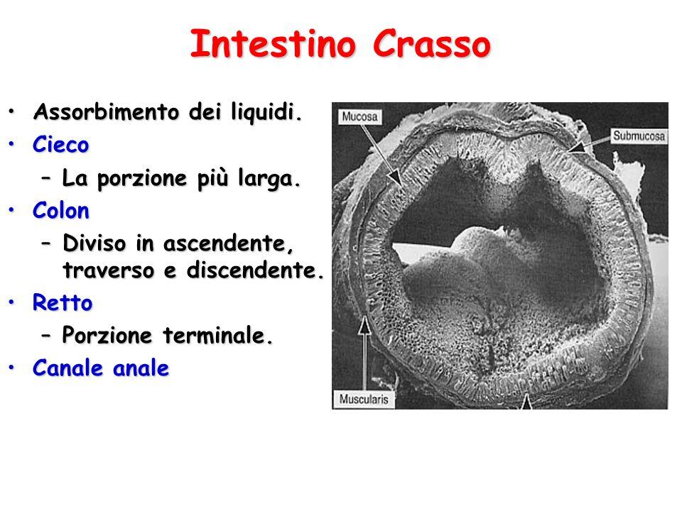 Intestino Crasso Assorbimento dei liquidi.Assorbimento dei liquidi. CiecoCieco –La porzione più larga. ColonColon –Diviso in ascendente, traverso e di