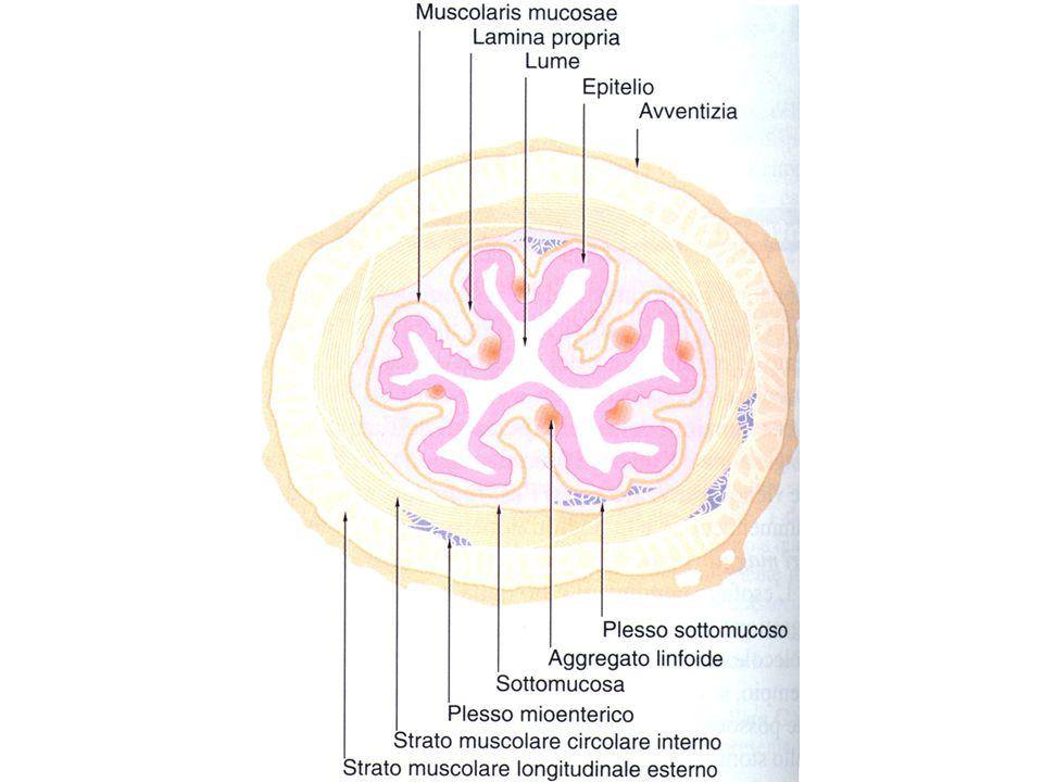 Mucosa EpitelioEpitelio –Protezione, assorbimento, secrezione Lamina propriaLamina propria –Connettivo lasso sotto l'epitelio Muscularis mucosaeMuscularis mucosae –Doppio strato sottile di muscolo liscio