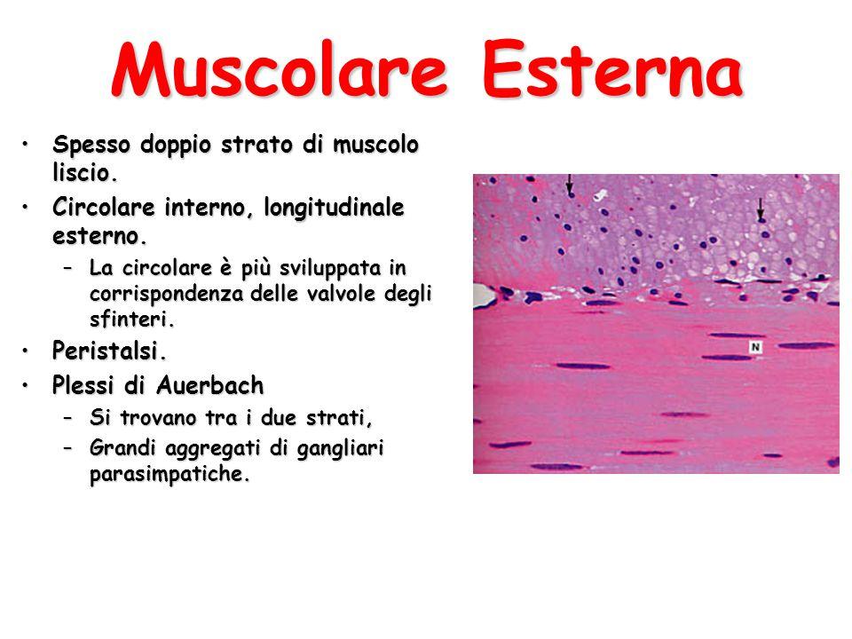 Muscolare Esterna Spesso doppio strato di muscolo liscio.Spesso doppio strato di muscolo liscio. Circolare interno, longitudinale esterno.Circolare in