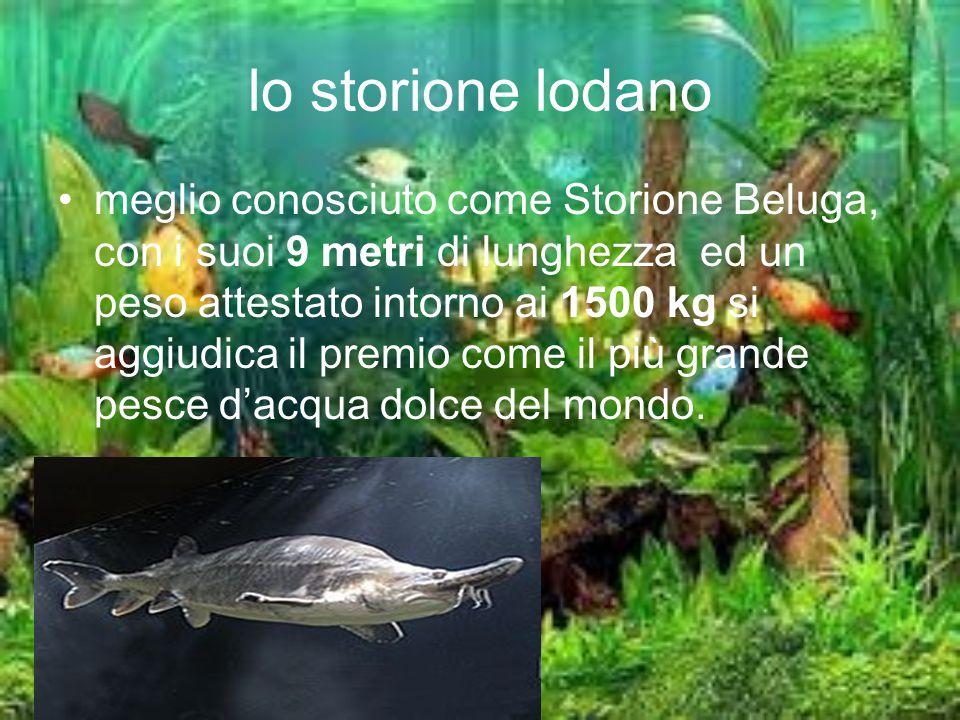 lo storione lodano meglio conosciuto come Storione Beluga, con i suoi 9 metri di lunghezza ed un peso attestato intorno ai 1500 kg si aggiudica il pre