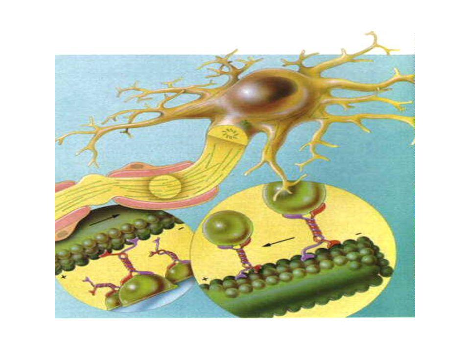 ENDOCITOSI L'endocitosi comprende diversi processi che si differenziano in base alla natura del materiale internalizzato: Fagocitosi: internalizzazione di materiale solido Pinocitosi: internalizzazione di liquidi la pinocitosi è divisa in: endocitosi mediata da recettore (clatrina- dipendente) e non mediata (clatrina- indipendente)