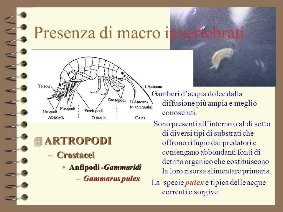 Presenza di macro invertebrati 4 ARTROPODI –Crostacei Anfipodi -GammaridiAnfipodi -Gammaridi –Gammarus pulex Gamberi d'acqua dolce dalla diffusione pi