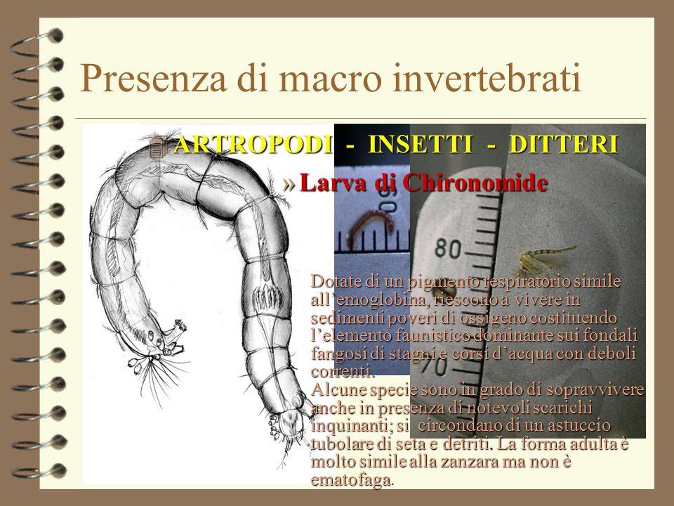 Presenza di macro invertebrati 4 ARTROPODI - INSETTI - DITTERI »Larva di Chironomide Dotate di un pigmento respiratorio simile all'emoglobina, riescon