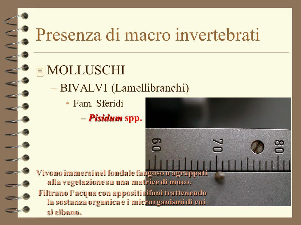 Presenza di macro invertebrati 4 MOLLUSCHI –BIVALVI (Lamellibranchi) Fam. Sferidi –Pisidum –Pisidum spp. Vivono immersi nel fondale fangoso o agrappat