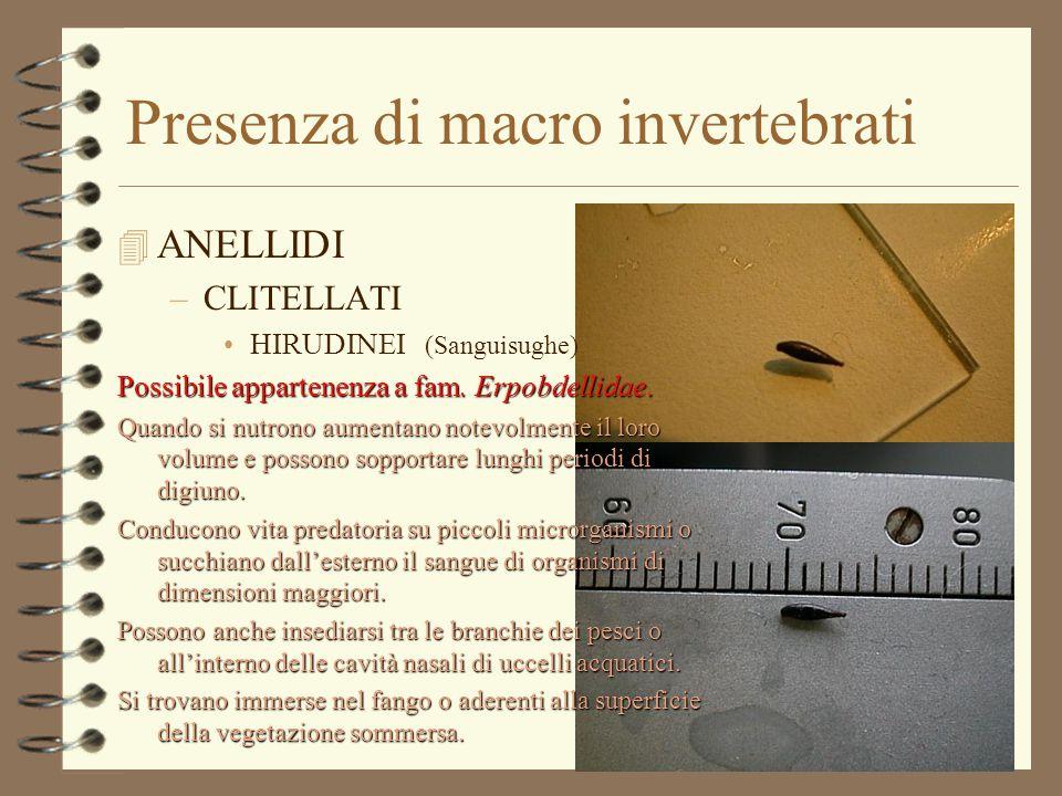 Presenza di macro invertebrati 4 ANELLIDI –CLITELLATI OLIGOCHETI –Famiglia Tubificidae »Tubifex spp.