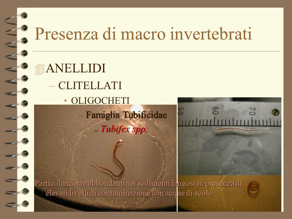Presenza di macro invertebrati 4 ANELLIDI –CLITELLATI OLIGOCHETI –Famiglia Tubificidae »Tubifex spp. Particolarmente abbondanti nei sedimenti fangosi