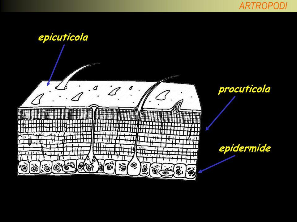 ARTROPODI ARACNIDI polmoni a libro trachee Strutture respiratorie