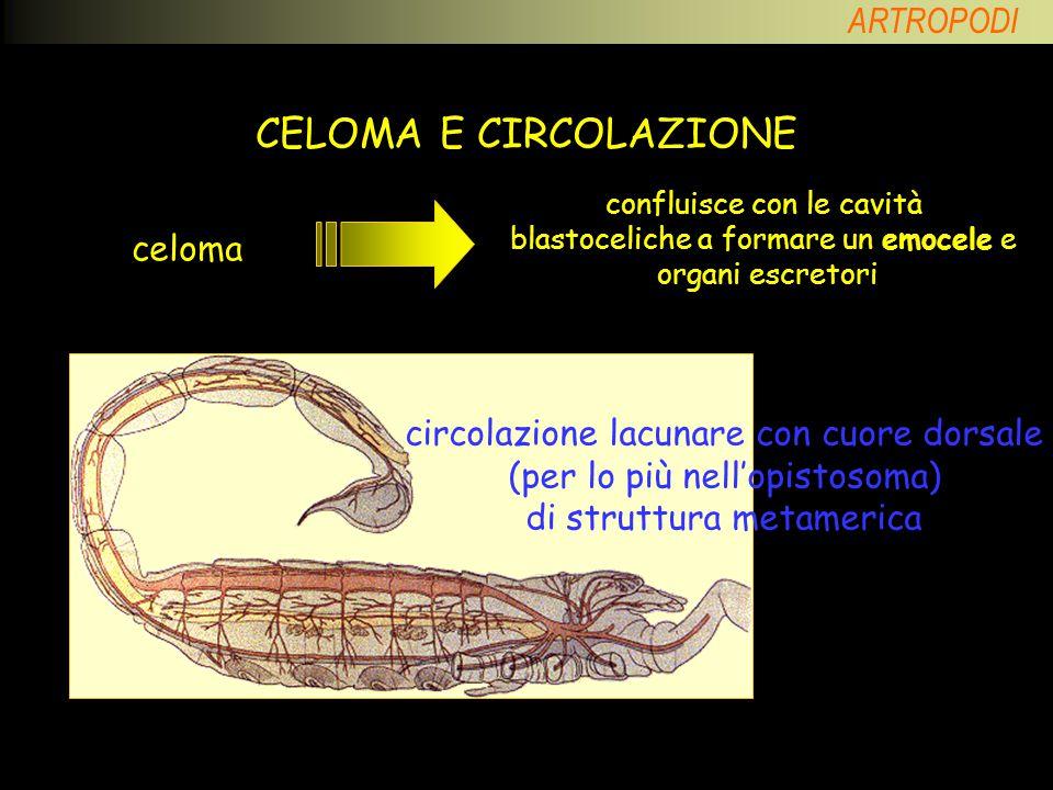 ARTROPODI CLASSIFICAZIONE phylum CHELICERATI classe ARACNIDI classe MEROSTOMI superphylum ARTROPODI classe PANTOPODI