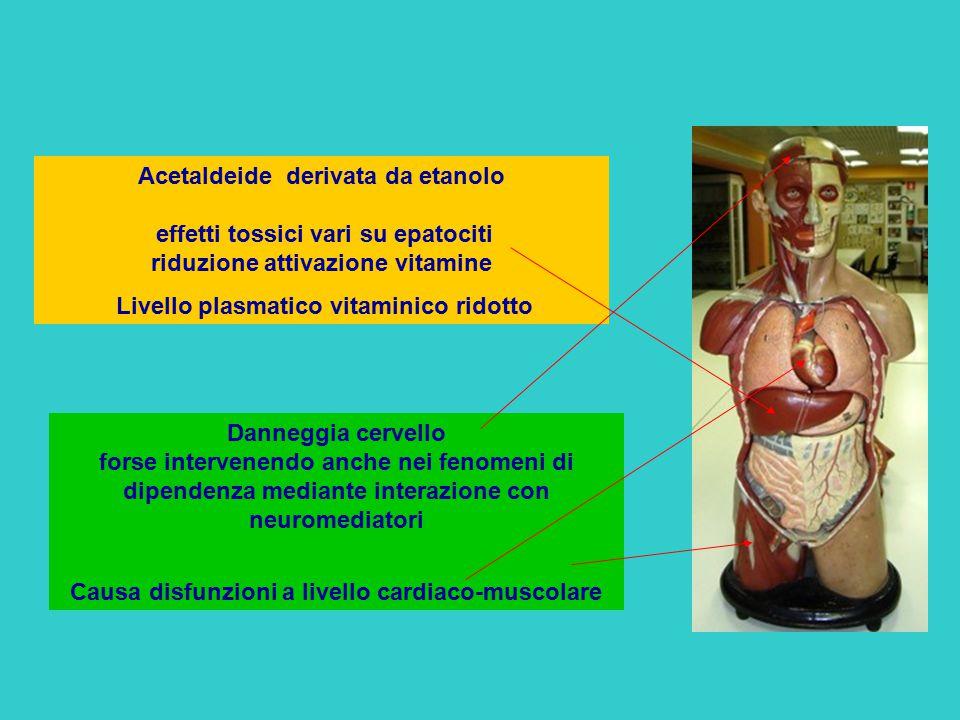 Acetaldeide derivata da etanolo effetti tossici vari su epatociti riduzione attivazione vitamine Livello plasmatico vitaminico ridotto Danneggia cerve