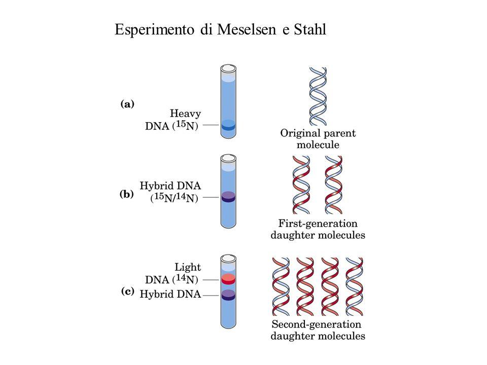 Riconosce l'origine e apre il DNA Svolge il DNA Aiuta la DNA b Aiuta ad aprire il DNA Sintetizza i primer di RNA Stabilizza il DNA a singola elica Rilascia la tensione nel DNA