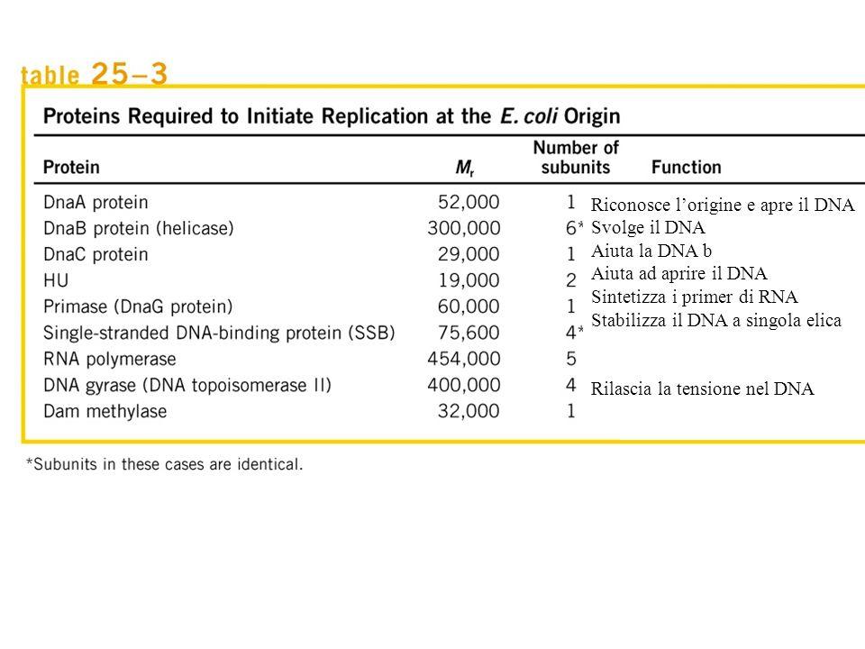 Riconosce l'origine e apre il DNA Svolge il DNA Aiuta la DNA b Aiuta ad aprire il DNA Sintetizza i primer di RNA Stabilizza il DNA a singola elica Ril