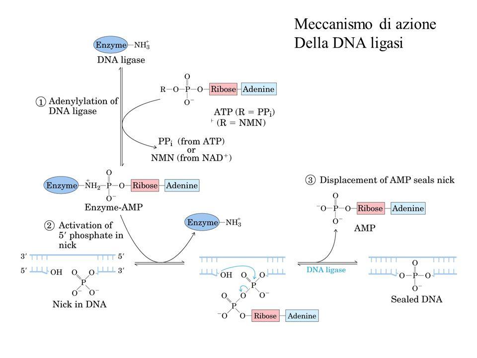 Meccanismo di azione Della DNA ligasi
