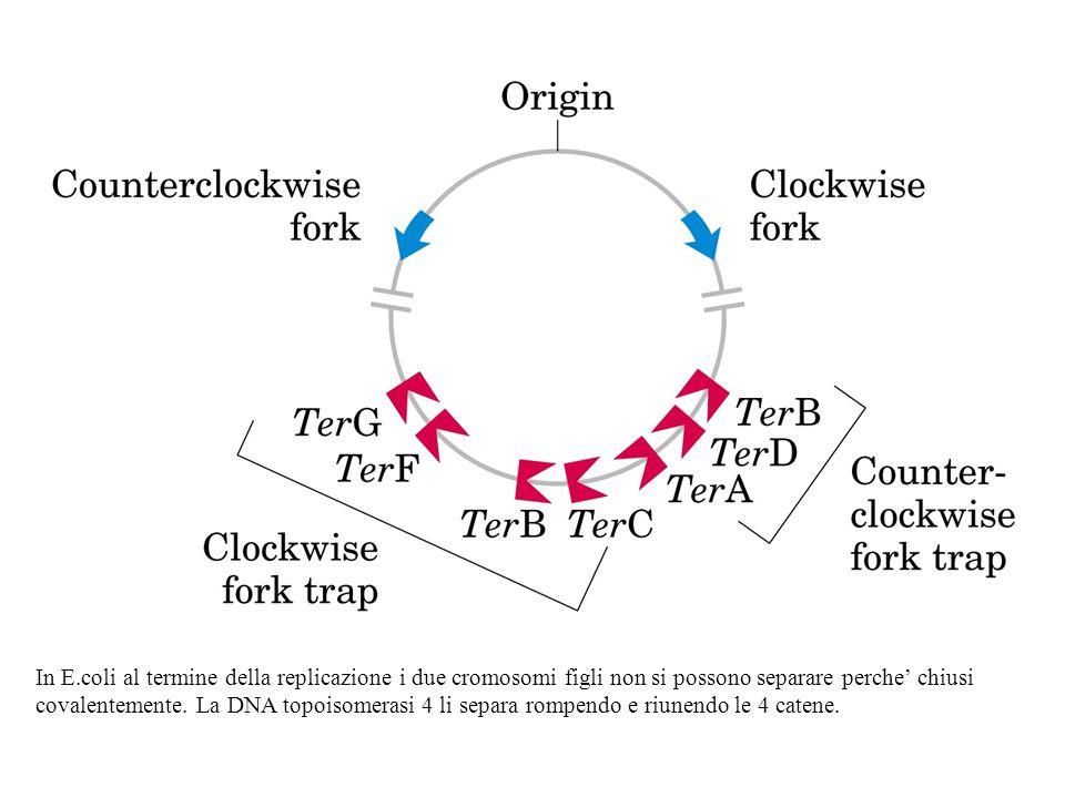 In E.coli al termine della replicazione i due cromosomi figli non si possono separare perche' chiusi covalentemente. La DNA topoisomerasi 4 li separa