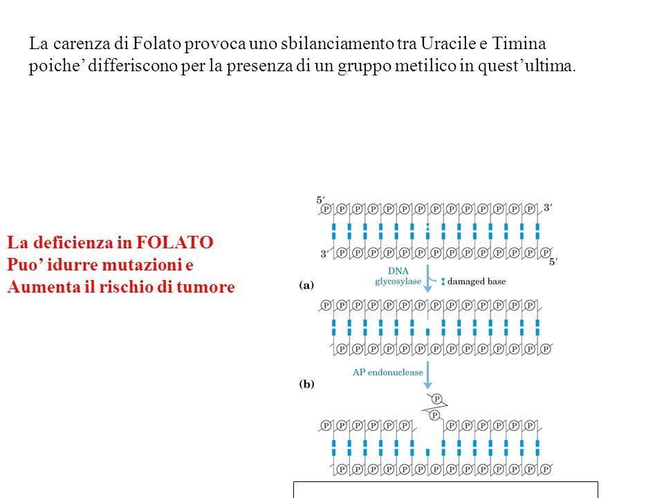 La deficienza in FOLATO Puo' idurre mutazioni e Aumenta il rischio di tumore La carenza di Folato provoca uno sbilanciamento tra Uracile e Timina poic
