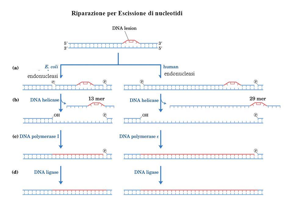 Riparazione per Escissione di nucleotidi endonucleasi
