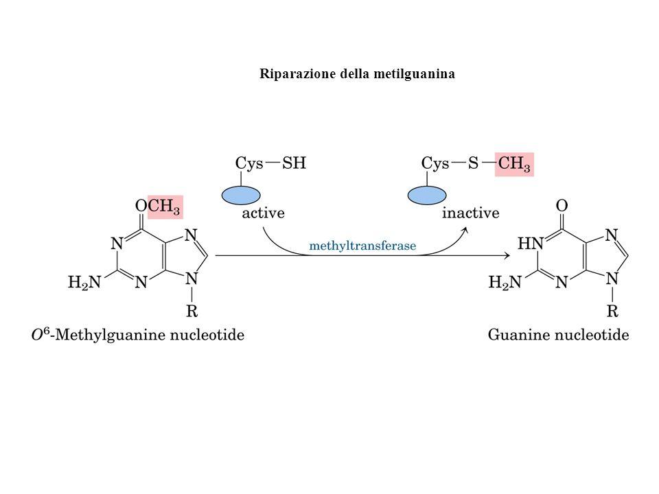Riparazione della metilguanina
