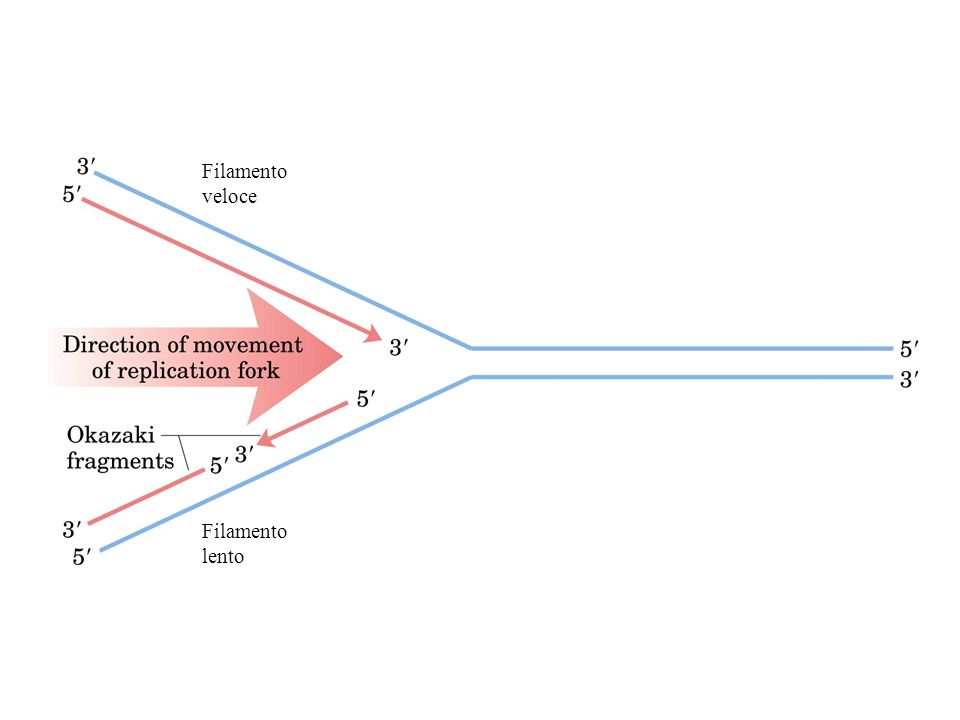 In E.coli al termine della replicazione i due cromosomi figli non si possono separare perche' chiusi covalentemente.