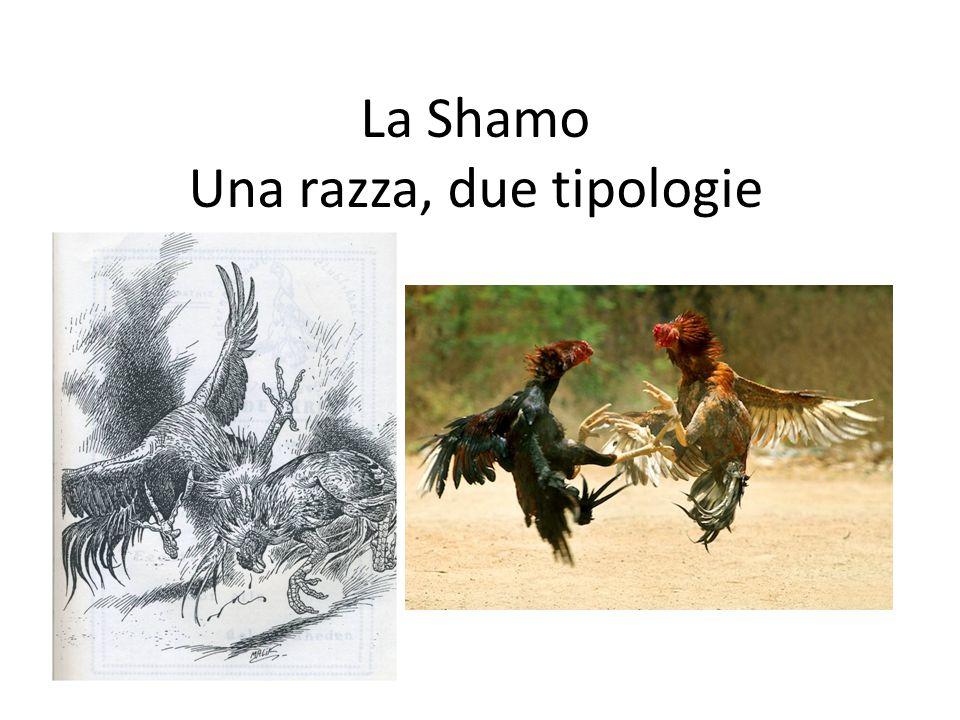 La Shamo Una razza, due tipologie