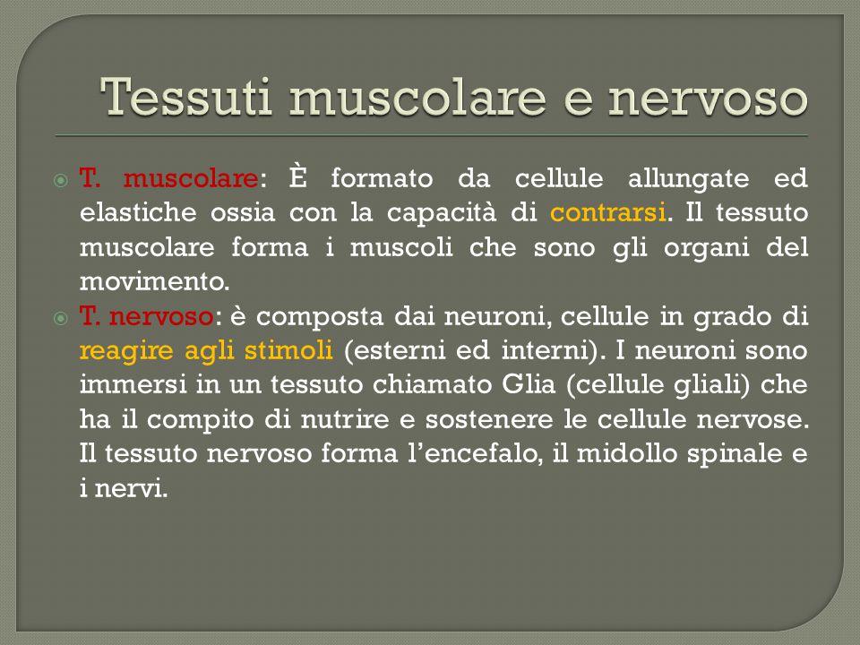  T.muscolare: È formato da cellule allungate ed elastiche ossia con la capacità di contrarsi.