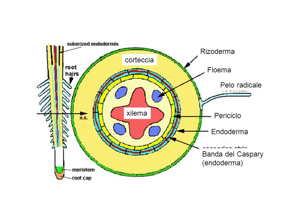 Rizoderma Floema Pelo radicale Periciclo Endoderma Banda del Caspary (endoderma) xilema corteccia
