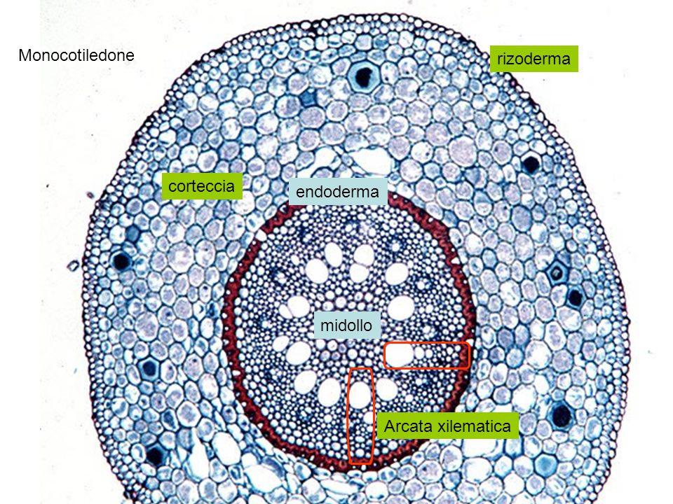 Arcata xilematica midollo endoderma corteccia rizoderma Monocotiledone