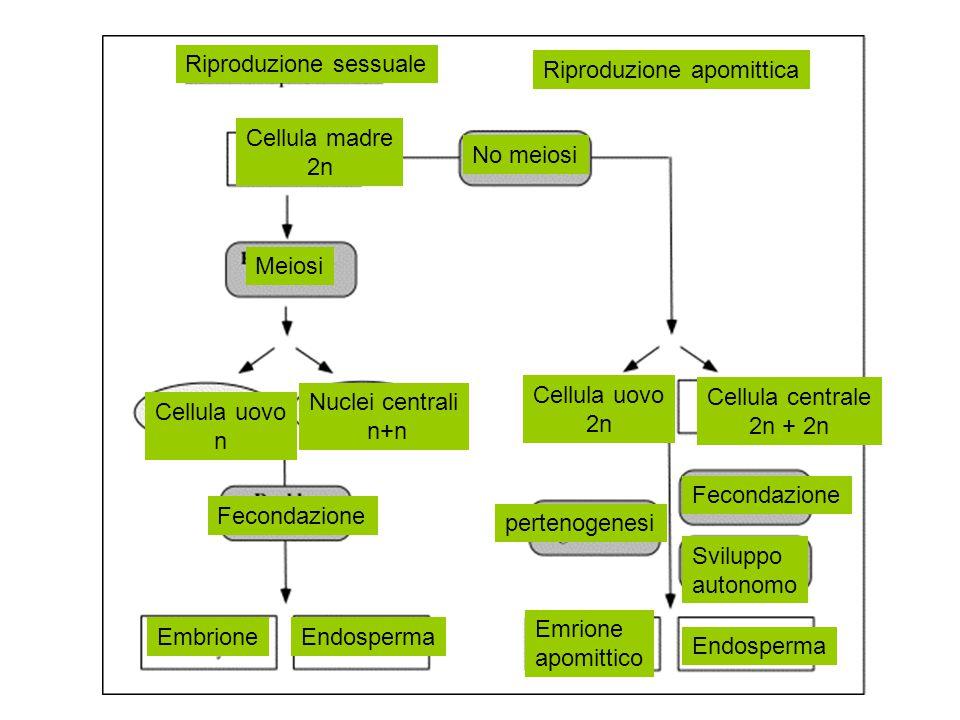 Meiosi Cellula uovo n Nuclei centrali n+n Fecondazione Cellula madre 2n EmbrioneEndosperma No meiosi Cellula uovo 2n Cellula centrale 2n + 2n pertenog
