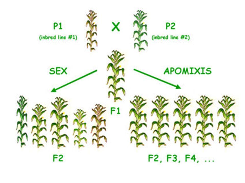 Funzione della radice: - ancoraggio -assorbimento -riserva (carote) Modifiche della radice: tuberizzazione (barbabietola, ravanello), ingrossamento Parziale o totale delle radici a scopo di riserva; il bulbo è un organo di propagazione vegetativapropagazione vegetativa (agamica, non sessuale) che svolge anche unaagamica funzione di resistenza Il bulbo è paragonabile ad una pianta avente un fusto brevissimo (disco o girello)fusto che da una parte è munito di tante radici fascicolate e dall altra di una gemmaradici fascicolategemma