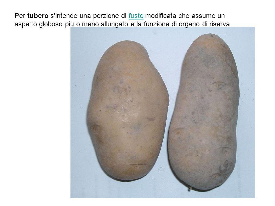 La radice può presentarsi: a fittone, se la radice primaria cresce e si sviluppa di più di quelle secondarie, fibrosa se filiforme e priva di ramificazioni; ramificata, se la radice principale si ramifica subito in un certo numero di radici secondarie di dimensioni più o meno uguali, come nel prezzemolo; fascicolata se tutte le radici presentano la stessa dimensione, tuberiforme, se ingrossata per la presenza di tessuti di riserva, come nella dalia; napiforme se l asse è ingrossato come nella carota.
