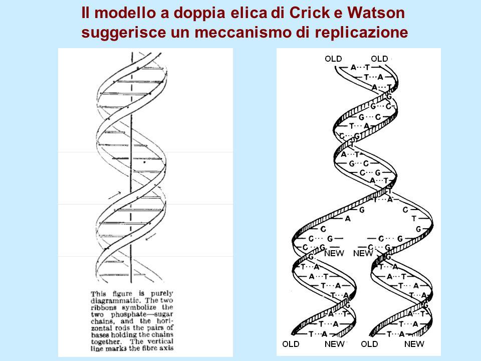 Il modello a doppia elica di Crick e Watson suggerisce un meccanismo di replicazione