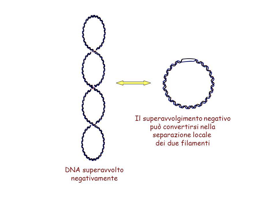 Il superavvolgimento negativo può convertirsi nella separazione locale dei due filamenti DNA superavvolto negativamente