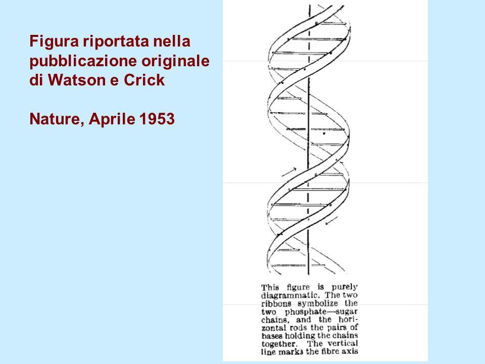 Figura riportata nella pubblicazione originale di Watson e Crick Nature, Aprile 1953