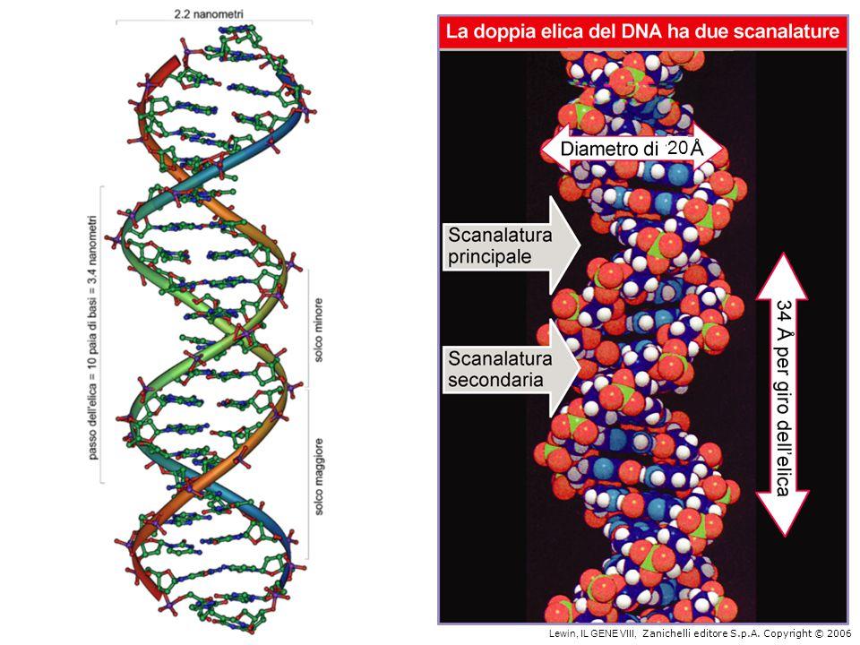 La struttura del DNA (B) Il DNA ha una forma ad elica regolare, diametro 20Å, passo 34Å Legami idrogeno tra le basi L'impilamento delle basi è determinato da interazioni idrofobiche Ogni coppia è ruotata di 36° Solchi maggiore (22Å) e minore (12Å) Avvolgimento in senso orario (elica destrorsa)