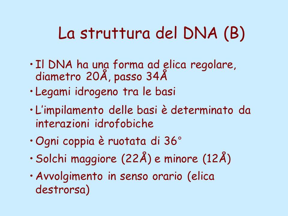 La struttura del DNA (B) Il DNA ha una forma ad elica regolare, diametro 20Å, passo 34Å Legami idrogeno tra le basi L'impilamento delle basi è determi