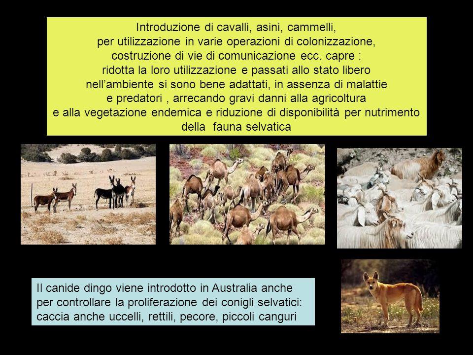 Introduzione di cavalli, asini, cammelli, per utilizzazione in varie operazioni di colonizzazione, costruzione di vie di comunicazione ecc.