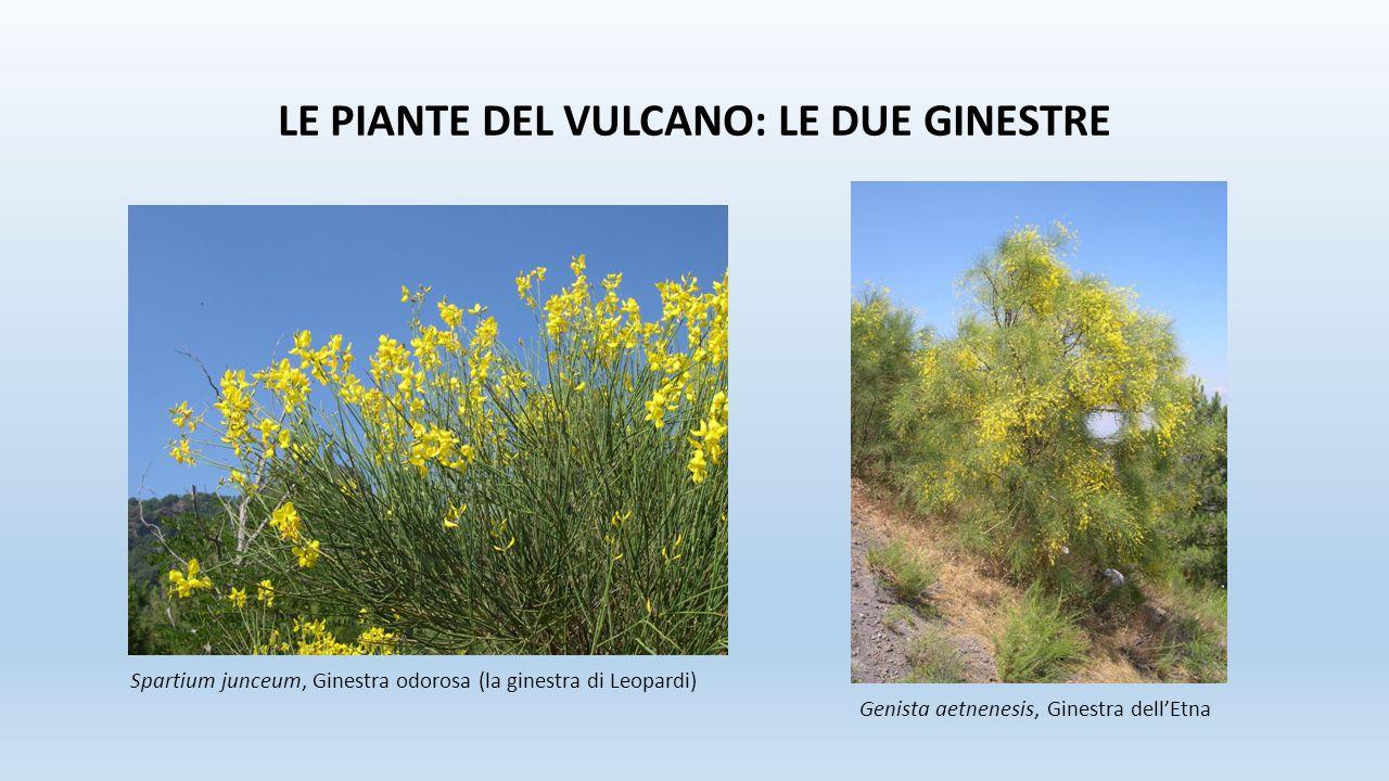 LE PIANTE DEL VULCANO: LE DUE GINESTRE Spartium junceum, Ginestra odorosa (la ginestra di Leopardi) Genista aetnenesis, Ginestra dell'Etna