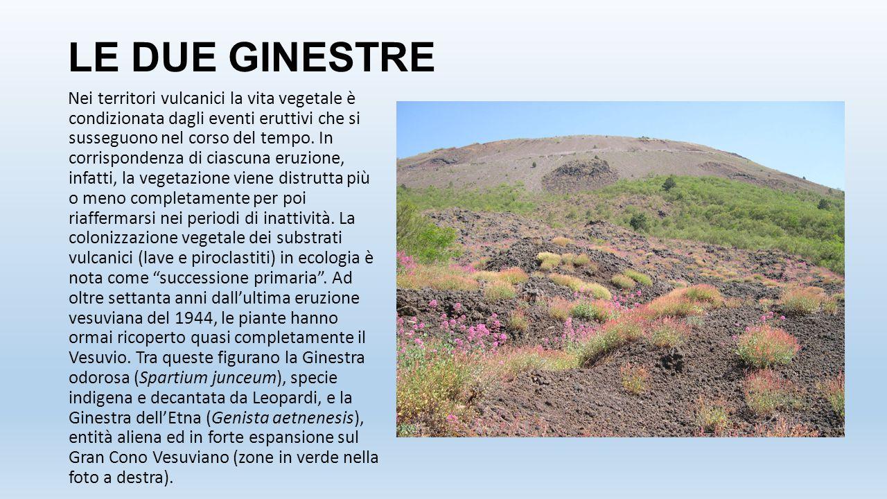 LE DUE GINESTRE Nei territori vulcanici la vita vegetale è condizionata dagli eventi eruttivi che si susseguono nel corso del tempo. In corrispondenza