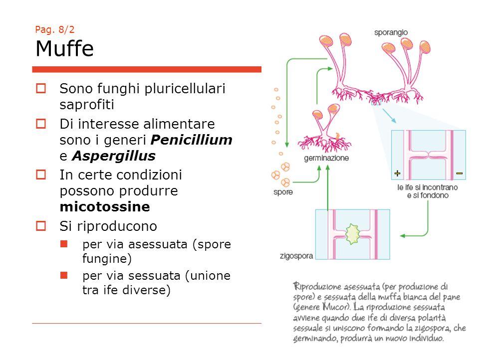 Pag. 8/2 Muffe  Sono funghi pluricellulari saprofiti  Di interesse alimentare sono i generi Penicillium e Aspergillus  In certe condizioni possono