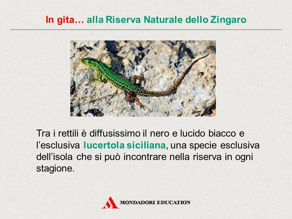 In gita… alla Riserva Naturale dello Zingaro Tra i rettili è diffusissimo il nero e lucido biacco e l'esclusiva lucertola siciliana, una specie esclus