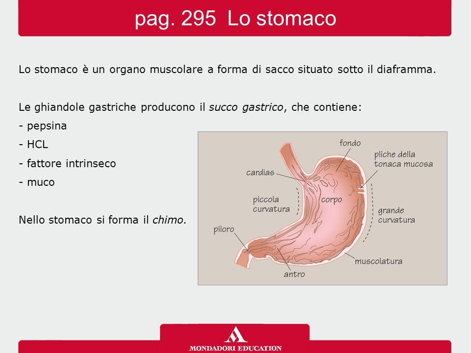 Lo stomaco è un organo muscolare a forma di sacco situato sotto il diaframma. Le ghiandole gastriche producono il succo gastrico, che contiene: - peps