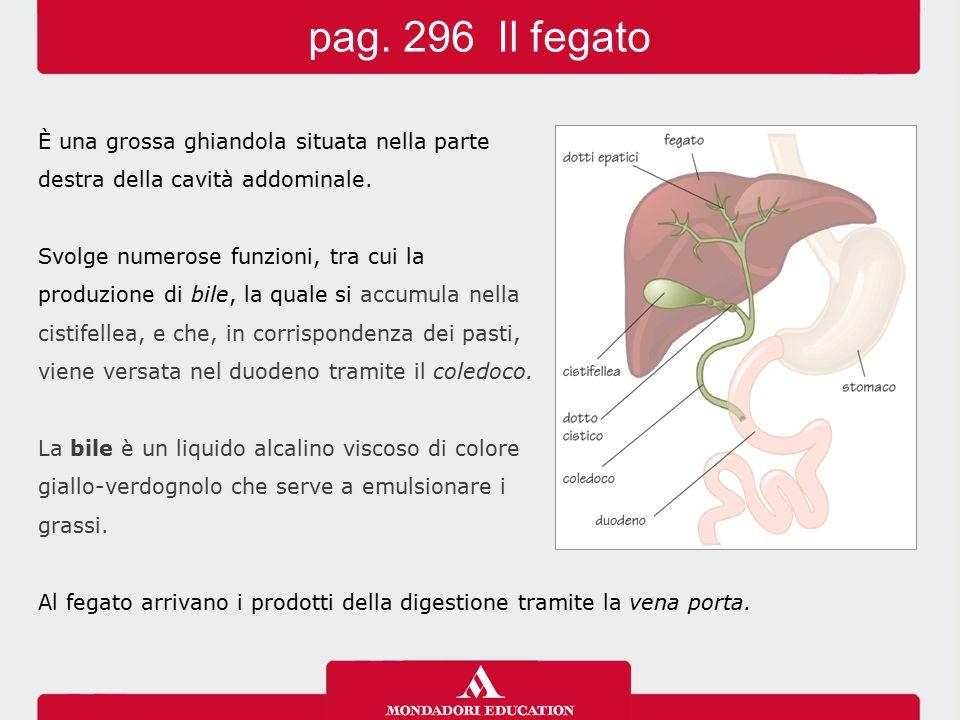 È una grossa ghiandola situata nella parte destra della cavità addominale. Svolge numerose funzioni, tra cui la produzione di bile, la quale si accumu